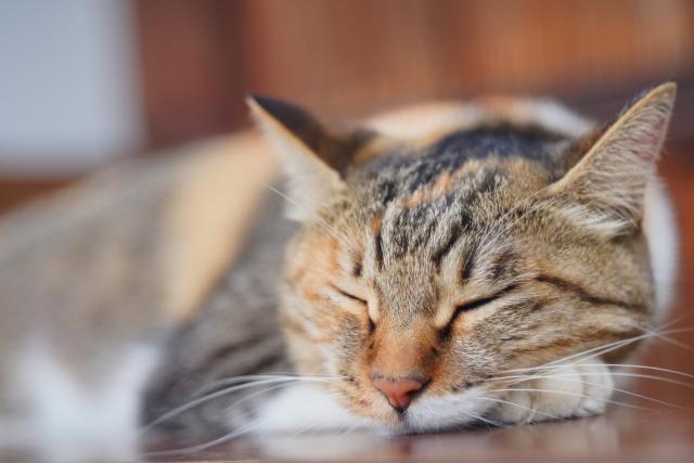 睡眠するネコ。